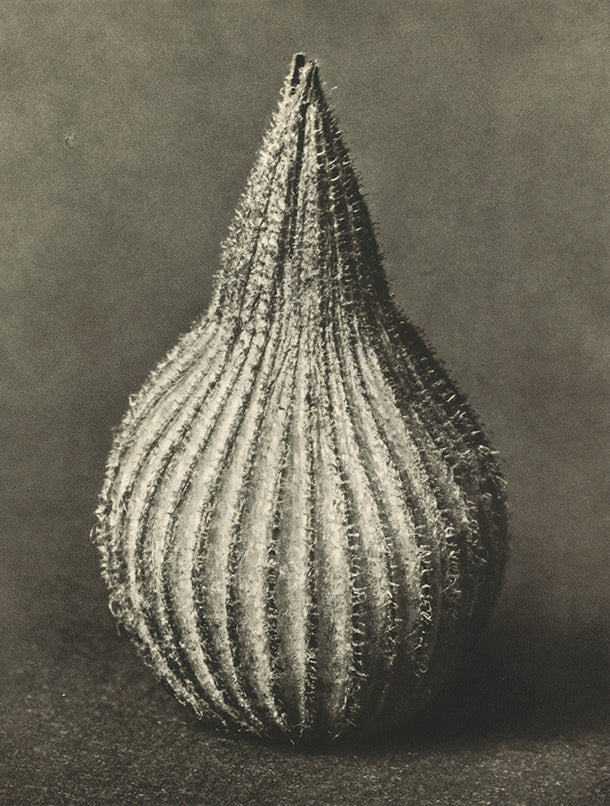 Karl Blossfeldt - Silene conica (Striped corn catchfly)