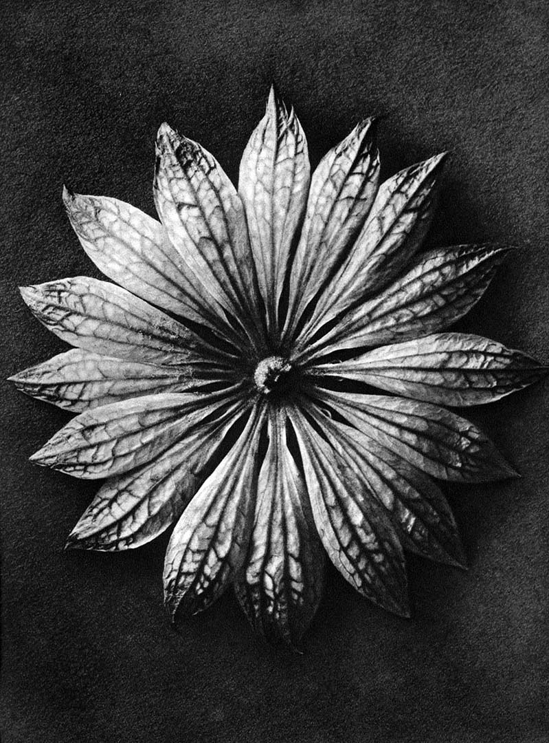 Karl Blossfeldt - Astrantia major (Great masterwort)