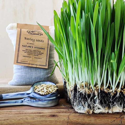 Barley grass sprouting seeds - microgreen