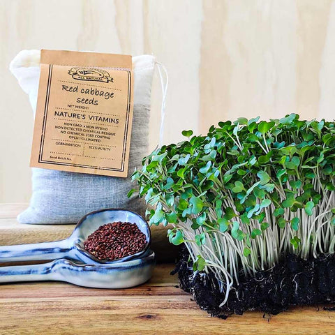 red cabbage sprouting seeds - microgreens