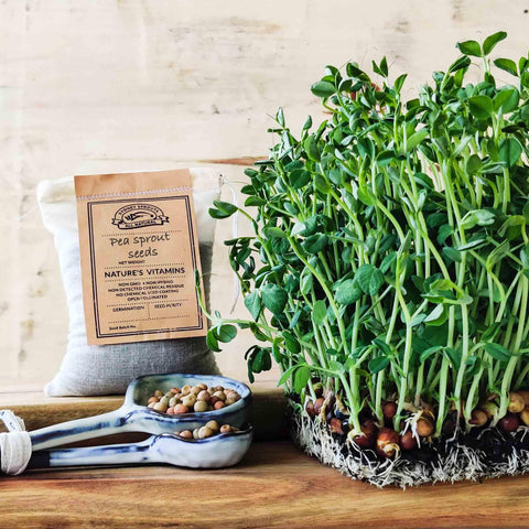pea sprout microgreen micro green sprouting