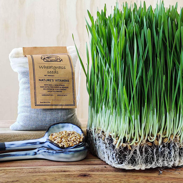 Wheatgrass sprouting seeds - Microgreens