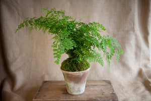 Charleston Street Potted Maidenhair Fern starting at