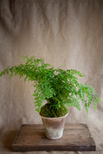 Load image into Gallery viewer, Charleston Street Potted Maidenhair Fern starting at