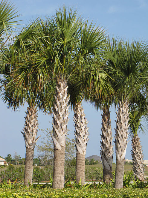 Palmetto (Sable) Palm Trees