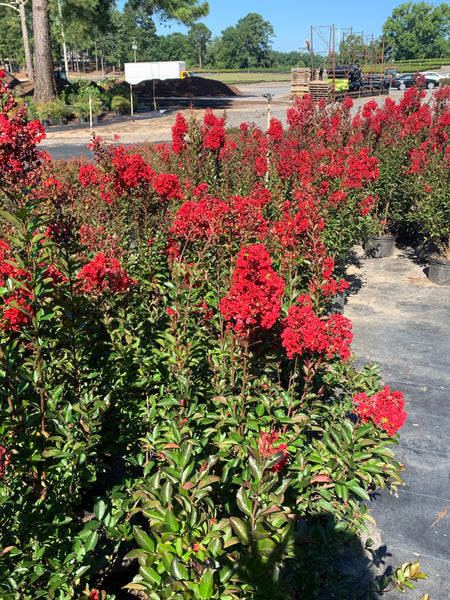 Crape Myrtle- Red Rooster