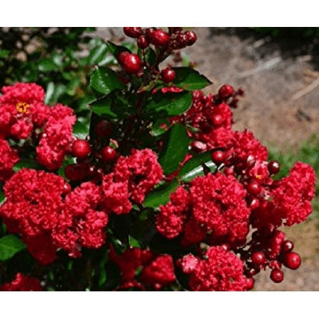 Crape Myrtle-Ruffled Red Magic