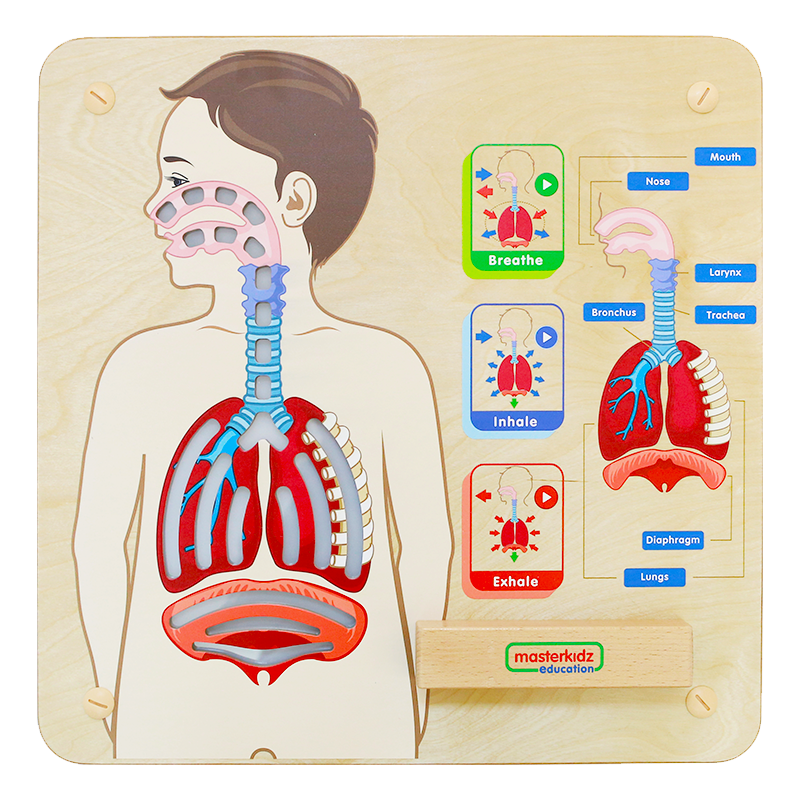 Wall Elements-Respiratory System Learning Board Play Teaching Aid