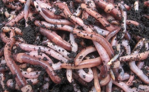 Composting worms European Nightcrawlers Eisenia Hortensis ** IN STOCK **