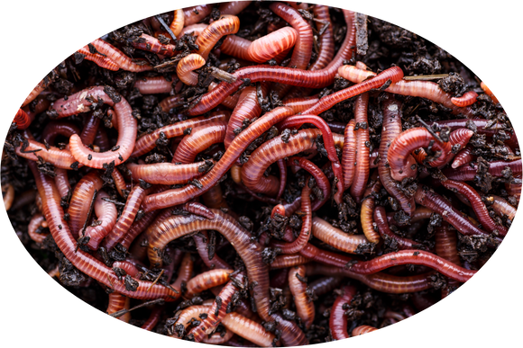 Compost worms Eisenia Fetida ** IN STOCK **