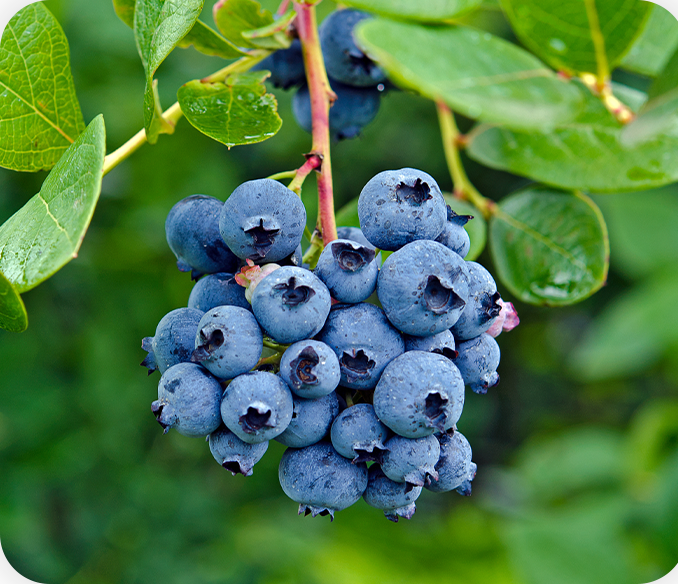 Kimaye Blueberries