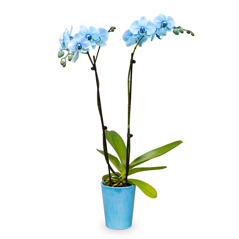 Gemstone Orchids - 10 Pack