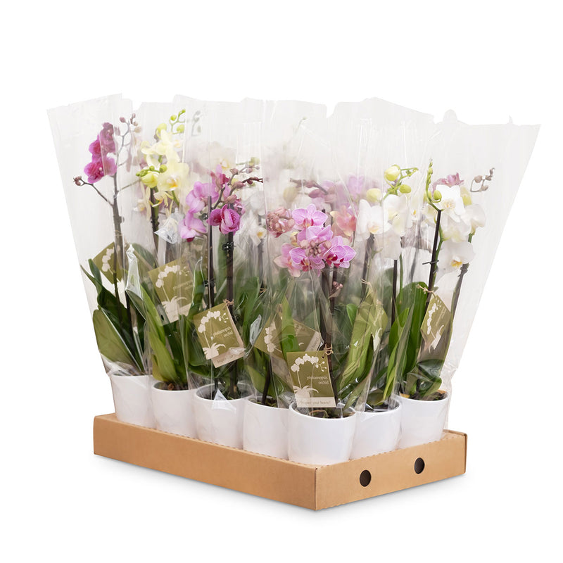 Medium Orchids - 15 Pack