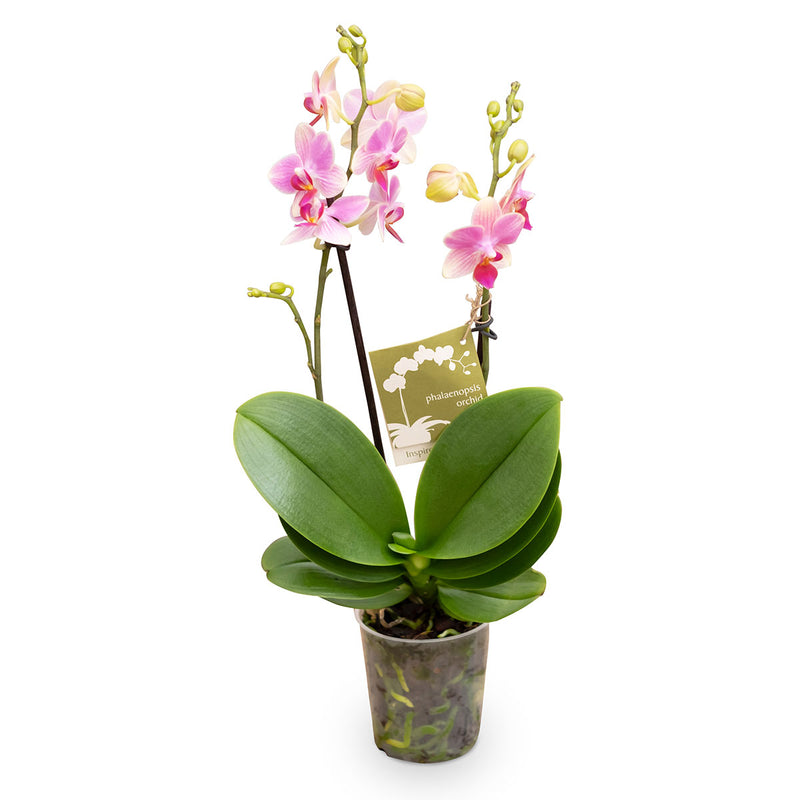 pink orchid plant with large green leaves