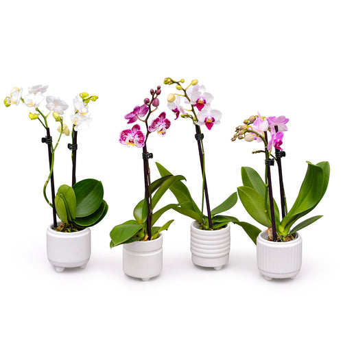 four cute small orchid plants in white pots
