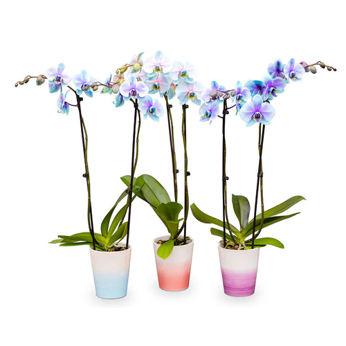multicolored phalaenopsis orchid plants in purple blue and pink colors