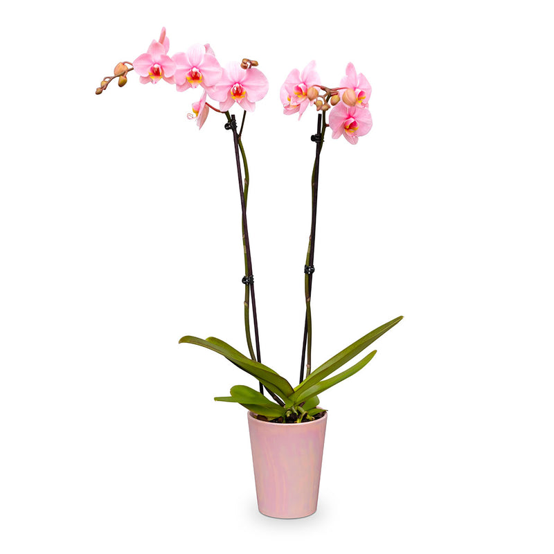 Pink Phalaenopsis orchid plant in a pink container - gemstone orchids