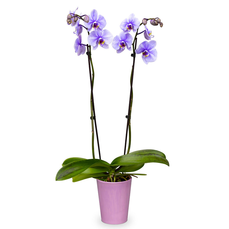 Purple Phalaenopsis orchid plant in a lavender pot