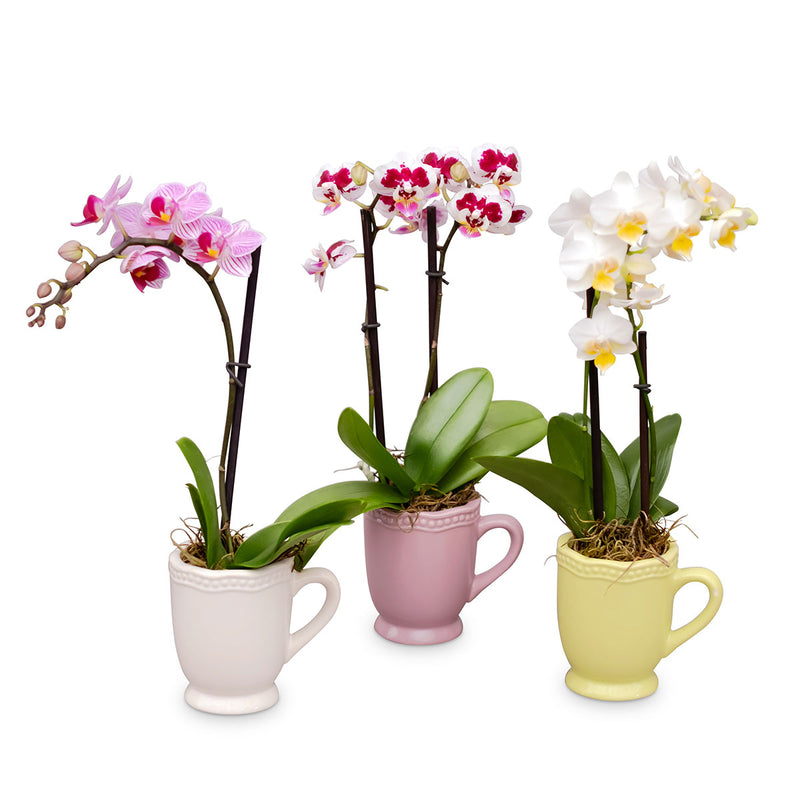 Small Orchids - 15 Pack