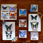 Load image into Gallery viewer, 'Midnight' Butterfly Set Reseller Wholesale
