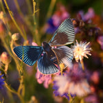 Load image into Gallery viewer, 'Midnight' Butterfly Set