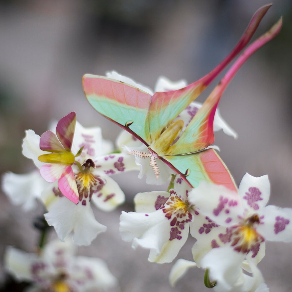 'Summer' Chinese Moon Moth Set