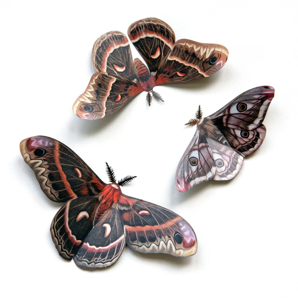 'Autumn' Cecropia Moth Set