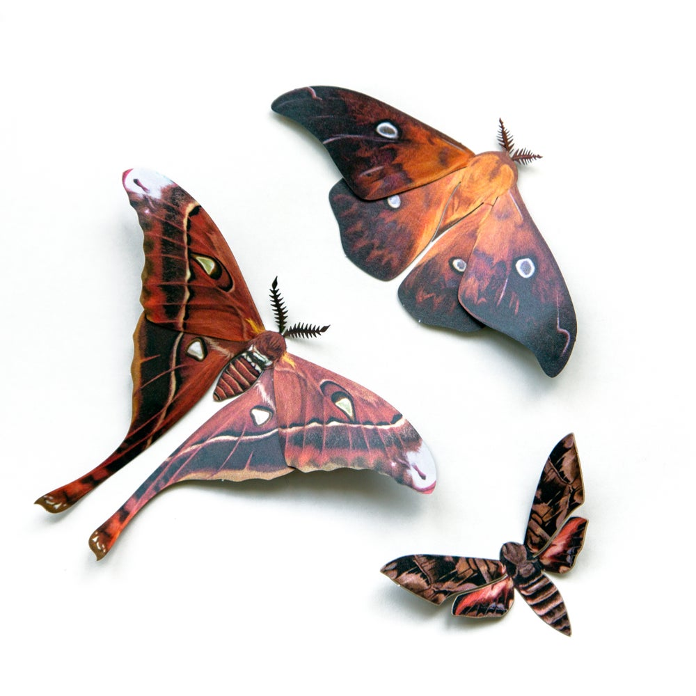 'Fire' Hercules Moth Set Artist Wholesale