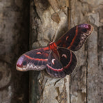 Load image into Gallery viewer, 'Autumn' Cecropia Moth Set