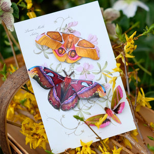 'Amber' Atlas Moth Set Reseller Wholesale
