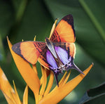 Load image into Gallery viewer, 'Sunrise' Butterfly Set Reseller Wholesale