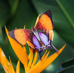 Load image into Gallery viewer, 'Sunrise' Butterfly Set