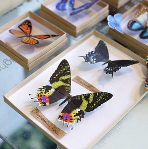 'Sunset' Butterfly Set Artist Wholesale
