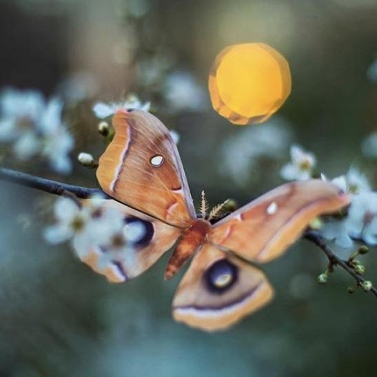 'Summer' Chinese Moon Moth Set Reseller Wholesale