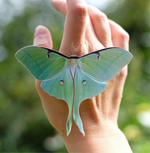 Load image into Gallery viewer, 'Spring' Luna Moth Set Artist Wholesale