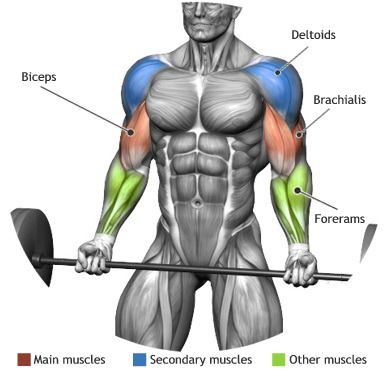 barbell curl muscle