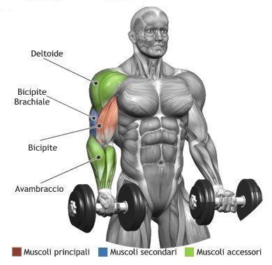 Dumbbells curl muscles worked