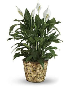 Peace Lily Plant - Large