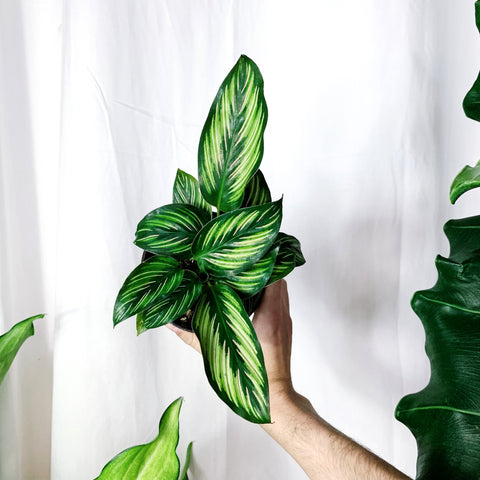 "Calathea ""Beauty Star"" from Arium Botanicals"