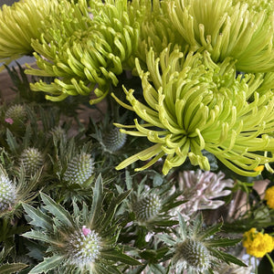 Lime spider Chrysanthemums radiant and green