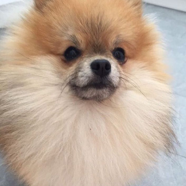 #Repost @marleythepomeranian1 ・・・ I'm always nice on Saturdays