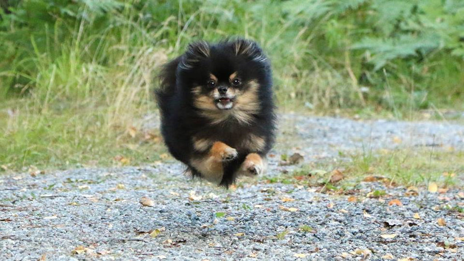 Black and Tan pomeranian «Bella Klein´s Frosty Demy» is learning to fly