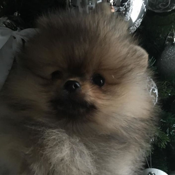 #animals #animal #pets #cute #pets #love #animallovers #petstagram #petlover #animales #flipaanimals #pomeranian #dogs #bellaklein #bellakleins #puppies #hundeoppdretter #pomeranianbreeder #valper #puppy #pomeranianpuppy