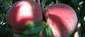 Mountain Rose Peaches, an antique variety
