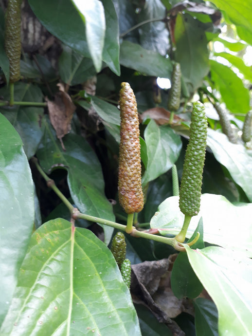 Long Pepper: Health Benefits  & Uses
