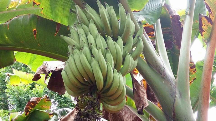 Banana - The Original Superfood in Disguise !