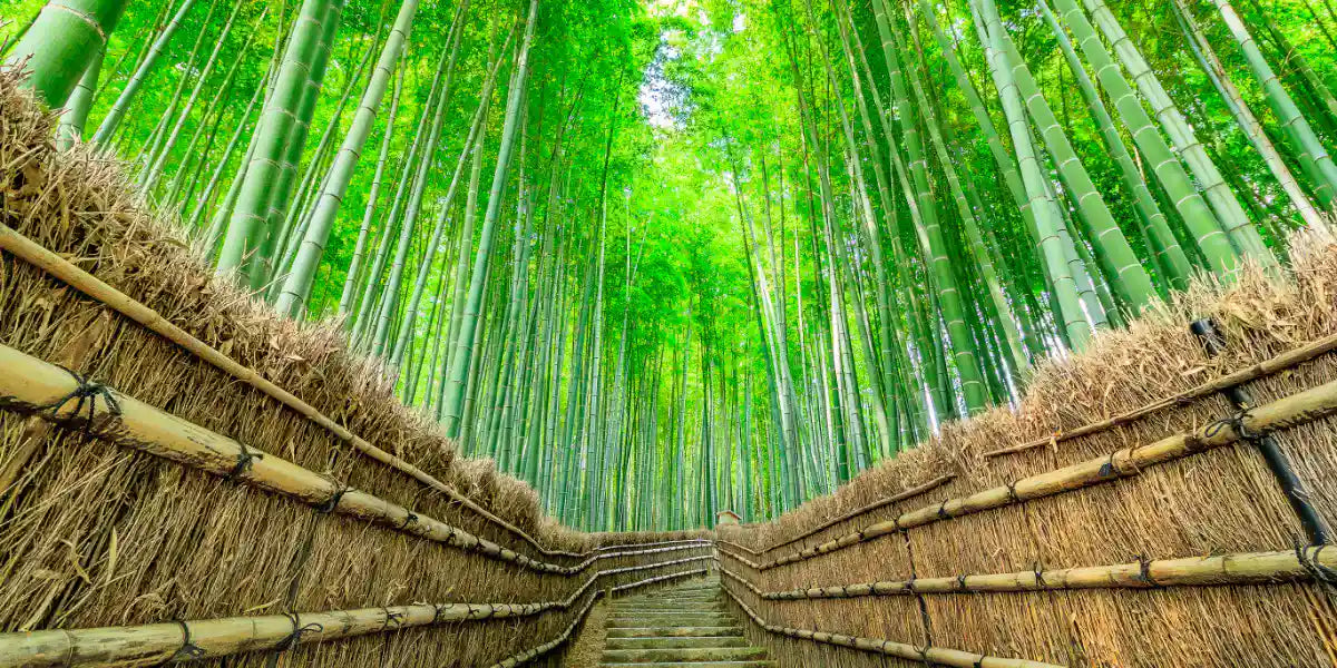 Bamboo forest with path barriers made of dried bamboo wood in Japan.