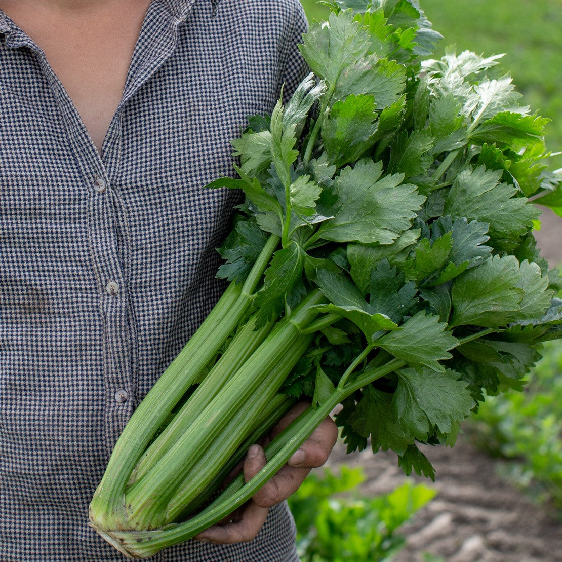Organic celery - Untaned Earth