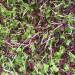 Load image into Gallery viewer, Organic microgreens - Untamed Earth