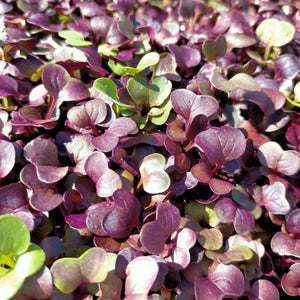 Organic microgreens - Untamed Earth